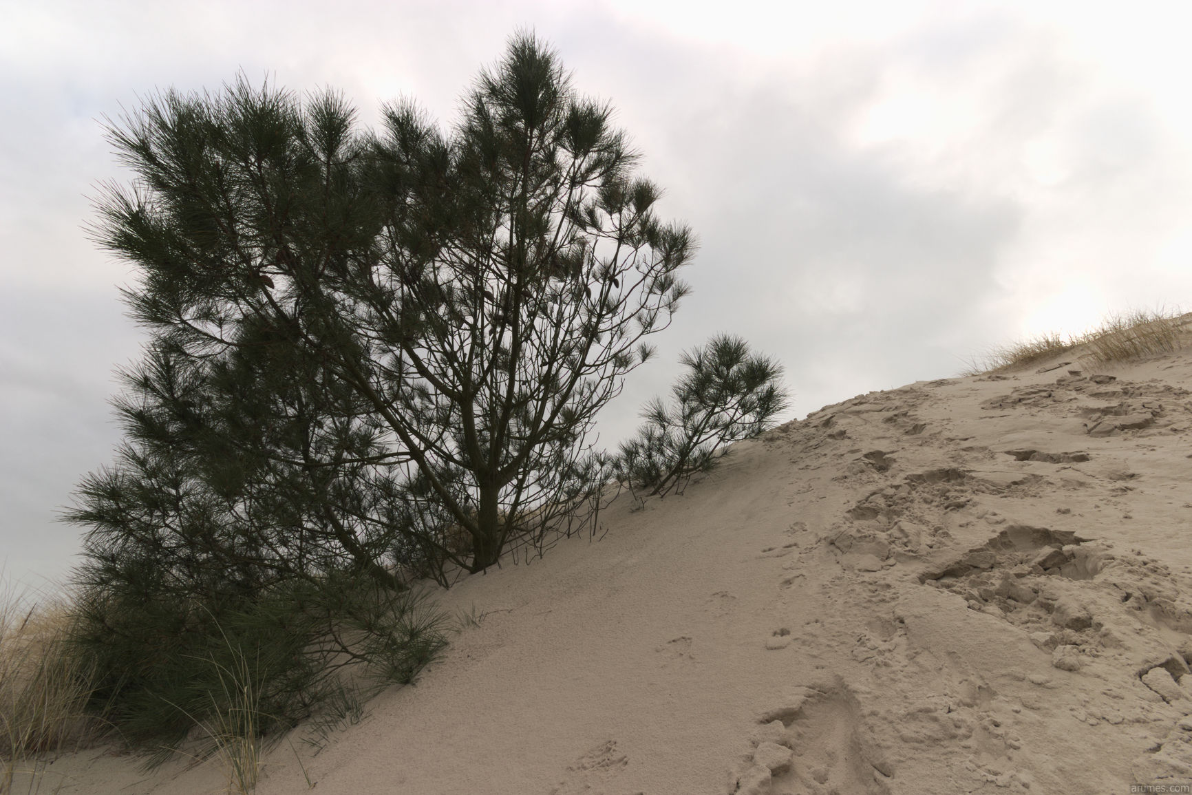 pine tree almost drowns in sand wave