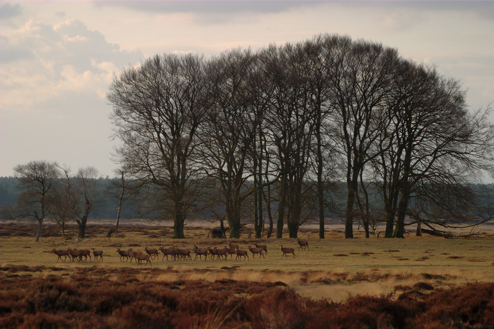 About 20 deer walking in foreground, large trees in back